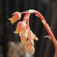 Miraのお花