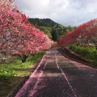 花桃の花びらが地面を飾ります。