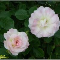 image2373 薔薇園で1