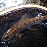 大井川支流群を釣る