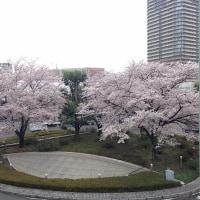 武蔵浦和の桜が満開、そして立川へ