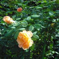 陽ざしで輝く バラの「レディーオブシャーロット」
