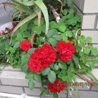 H29.5.23  我家の 薔薇