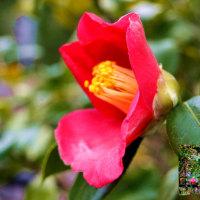 ヤブツバキ開花