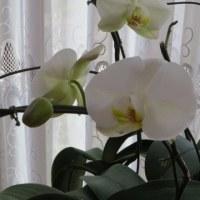 ☆キモッコウ開花&西側のつるバラ&◎胡蝶蘭咲いた♪