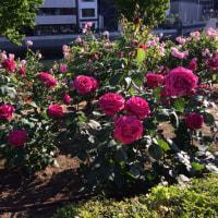 五月のバラ(╹◡╹)♡