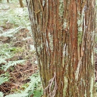 杉の幹に付いているレプラゴケとシラガゴケの仲間