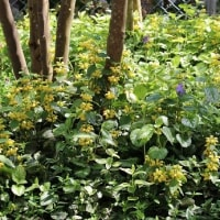 ラミウムの黄色い花咲く