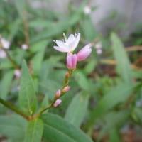 桜蓼(さくらたで)