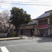 大垣の桜、今年はもう終わり