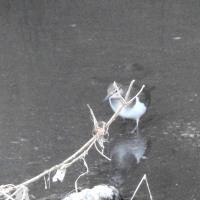 大堀川周辺の野鳥_イソシギ(磯鴫)その4