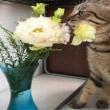 猫とトルコキキョウ