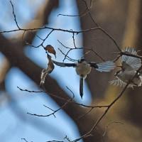エナガの飛翔と巣材を嘴にくわえて・・・