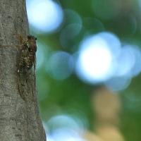 ヒグラシ鳴く森に這い行ってナラタケに出会う