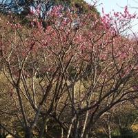 森林公園の梅は満開。