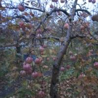 沼田でリンゴ狩り食べ放題