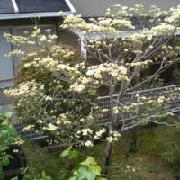 ハナミズキが咲いています!!