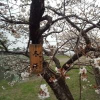 まだ冬桜だけ