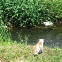 ルバーブを煮た土曜日は、川を渡らない猫に出会って、ハギの花が咲きはじめました。
