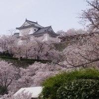 「2017 津山さくらまつり」で今年は満開桜を満喫してきたよ。