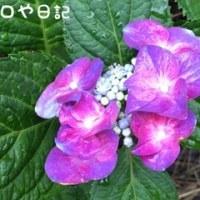 続・紫陽花の季節