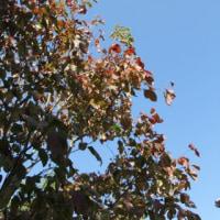 ◎クレマチス マルチブルーが咲いていた&イチゴノキ