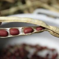 栽培した小豆を収穫
