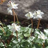 庭の花:ヒマラヤユキノシタ、バイカオウレン