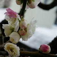 鉢梅 ようやく開花
