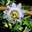 時計草(とけいそう)という花