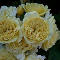 レトロの薔薇の花♪