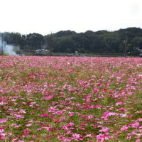 加古川志方コスモス畑  2016.10.19