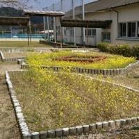 中庭の花壇には菜の花が咲いていました。高校の合格発表と次の目標について。