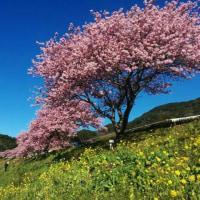 みなみの桜を見に行きたい・・・