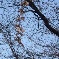 雨中の初桜