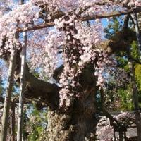 福島県二本松市、愛蔵寺の護摩桜です!!