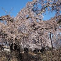 ★松本市法船寺の桜が枝垂れて綺麗だった 2017