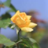 秋のバラ  (Vol.1385)