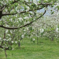 リンゴの白い花にかこまれて