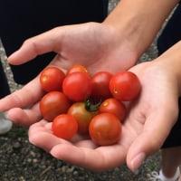 トマト 順調です。