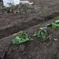 6月20日に採ったサツマイモの苗の植え付けが終わりました
