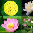 image2405 蓮の花2