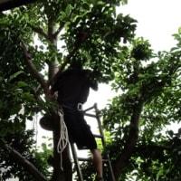 コブシの木の伐採をする。
