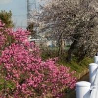 花桃・だいこんの花・さくら・菜の花・ささやき~~~