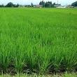 分蘖(ぶんけつ)した稲の緑が広々と