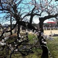 茨城県水戸市の偕楽園2017年春・・梅花に野点