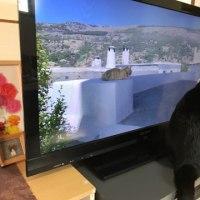 世界ネコ歩きを見る猫