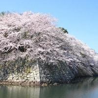 彦根城の満開の桜を一緒に楽しみませんか?