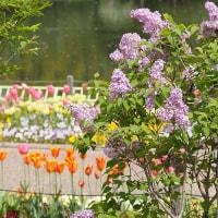 薄紫色のライラックが咲いていました