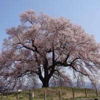 わに塚の桜 (山梨県韮崎市)